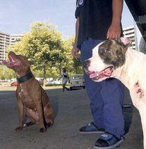 En pitbull i förorten ger respekt – men i stället för att ropa på förbud borde Odell satsa på att erbjuda hundkurser, menar skribenten.